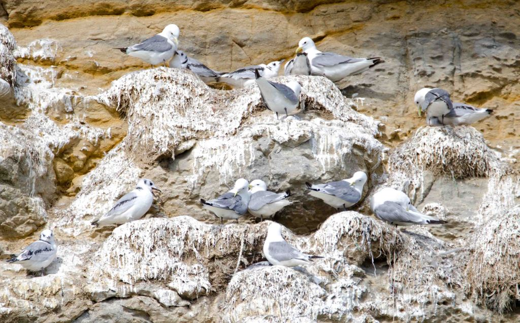 Kittiwakes nesting on Castle Headland cliffs, Scarborough