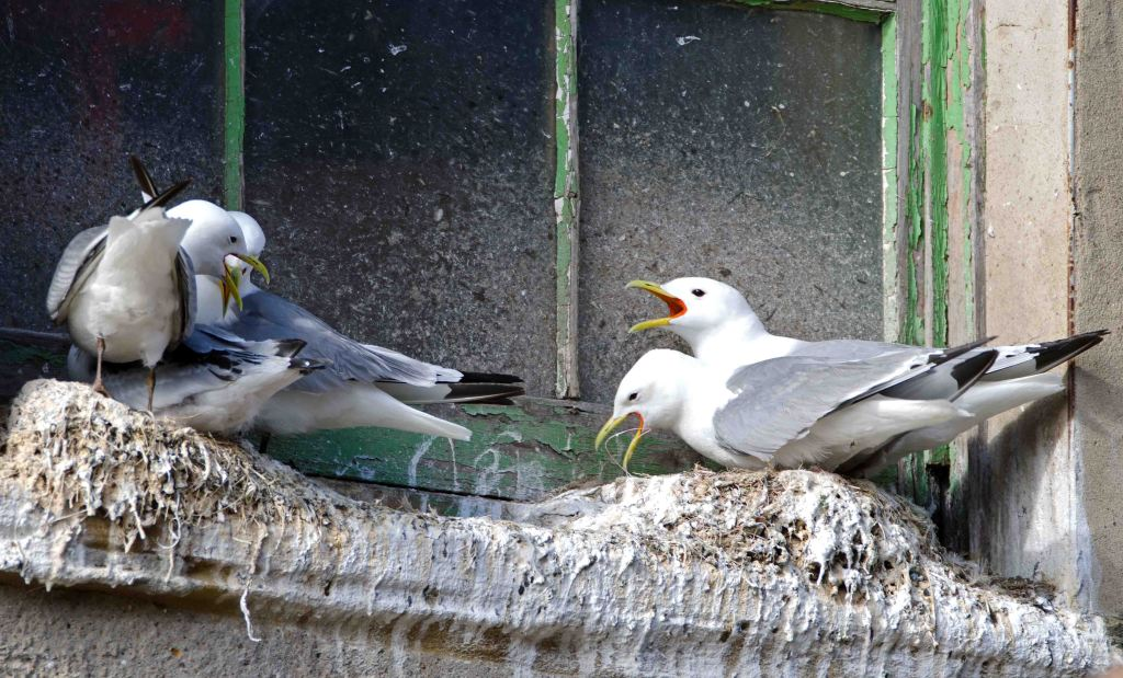 Kittiwakes nesting on widow ledge near the harbour, Scarborough