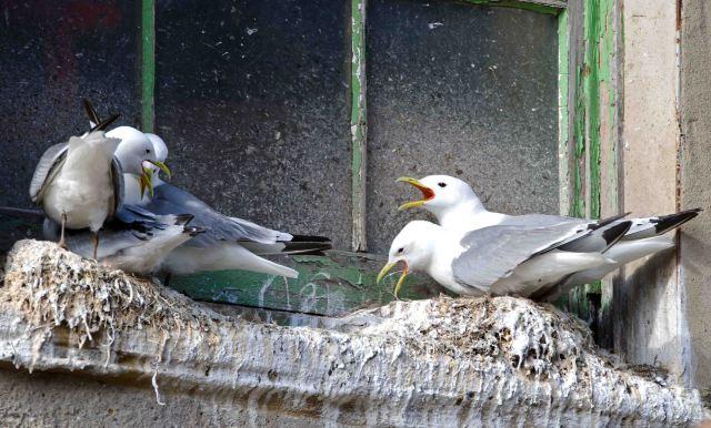 Kittiwakes nesting on widow ledge near the harbour, Scarborough
