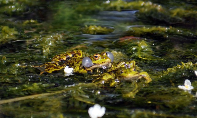 Marsh frog (Rana ridibunda) mating