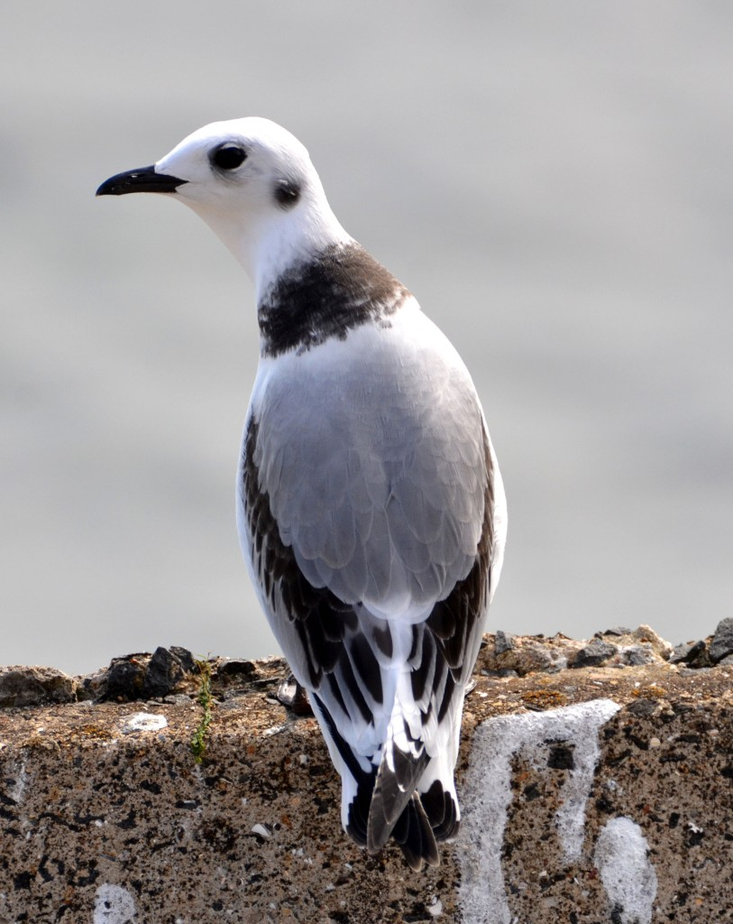 Newly fledged kittiwake chick below Castle Headland, Scarborough, on 24-07-2015