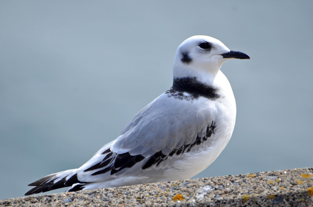 Newly-fledged kittiwake chick on Marine Drive, Scarborough, 24-07-2015