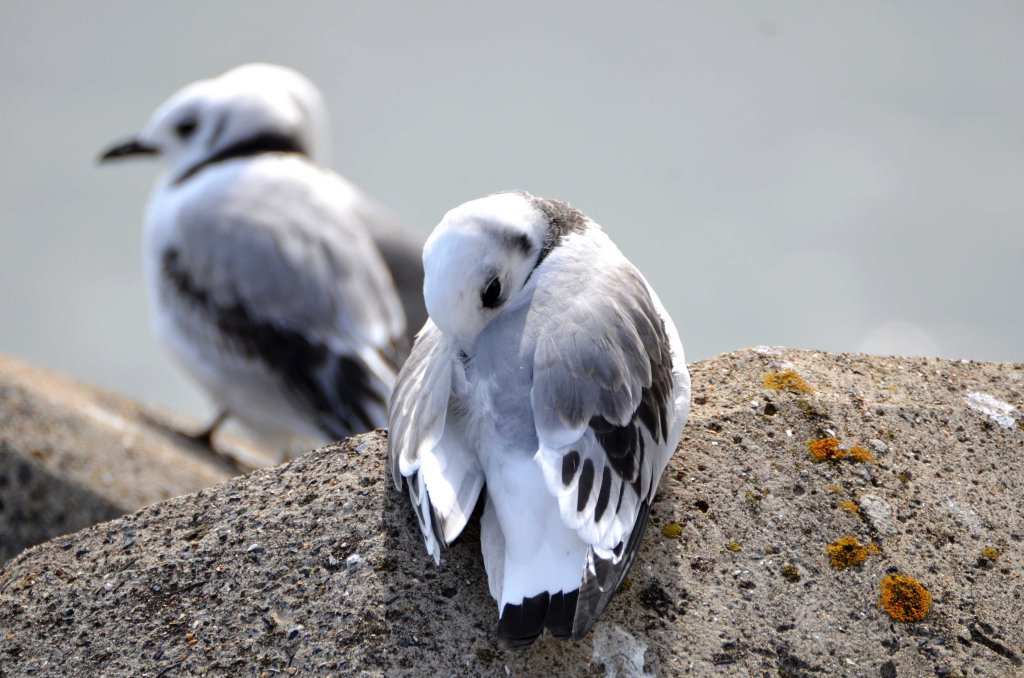 Newly fledged kittiwake chick resting on Marine Drive, Scarborough, on 24-07-2015