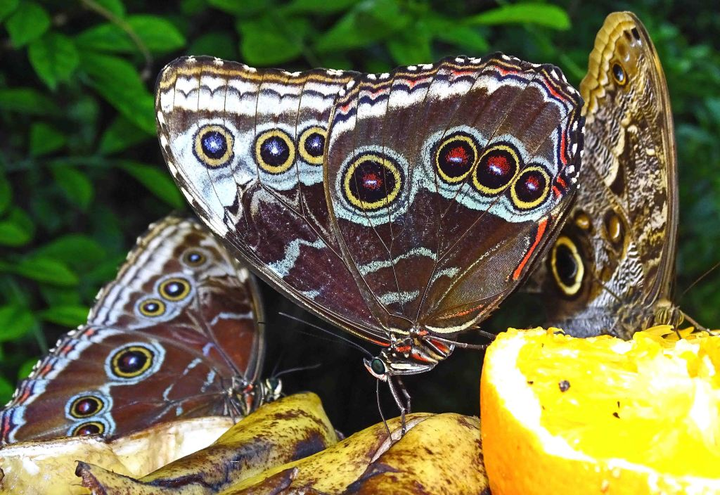 Blue morpho (Morpho peleides) feeding on oranges