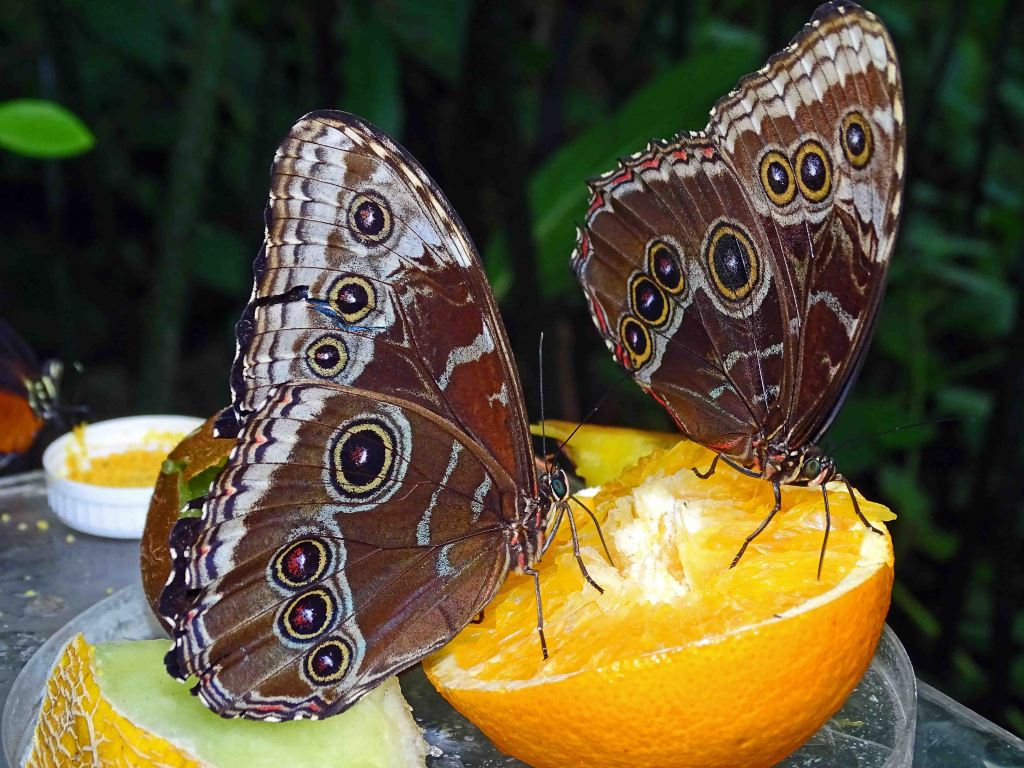 Blue morphos (Morpho peleides) feeding on oranges