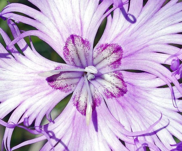 Fringed Pink, Dianthus monspessulanus