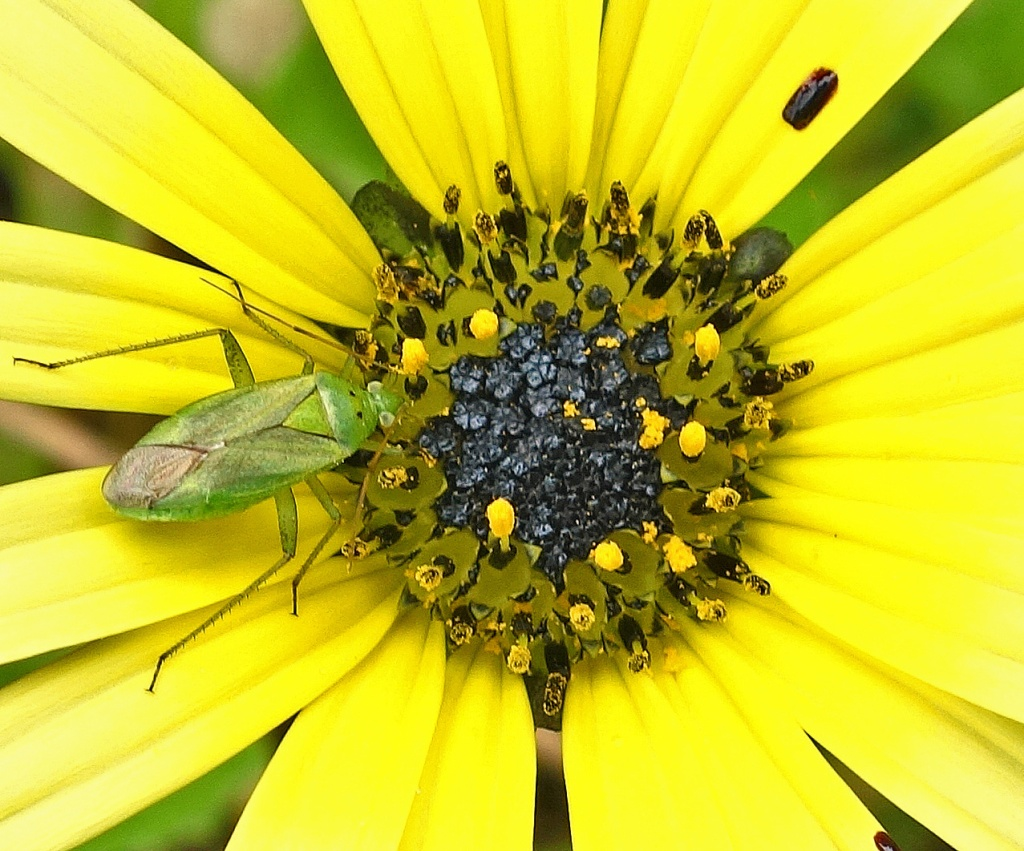 Green mirid on Arctotheca calendula flower