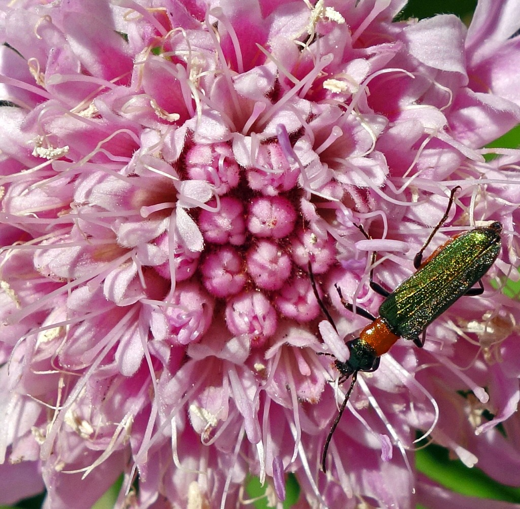 Mountain scabious (Pterocephalus dumetorum) from Gran Canaria with resident beetle