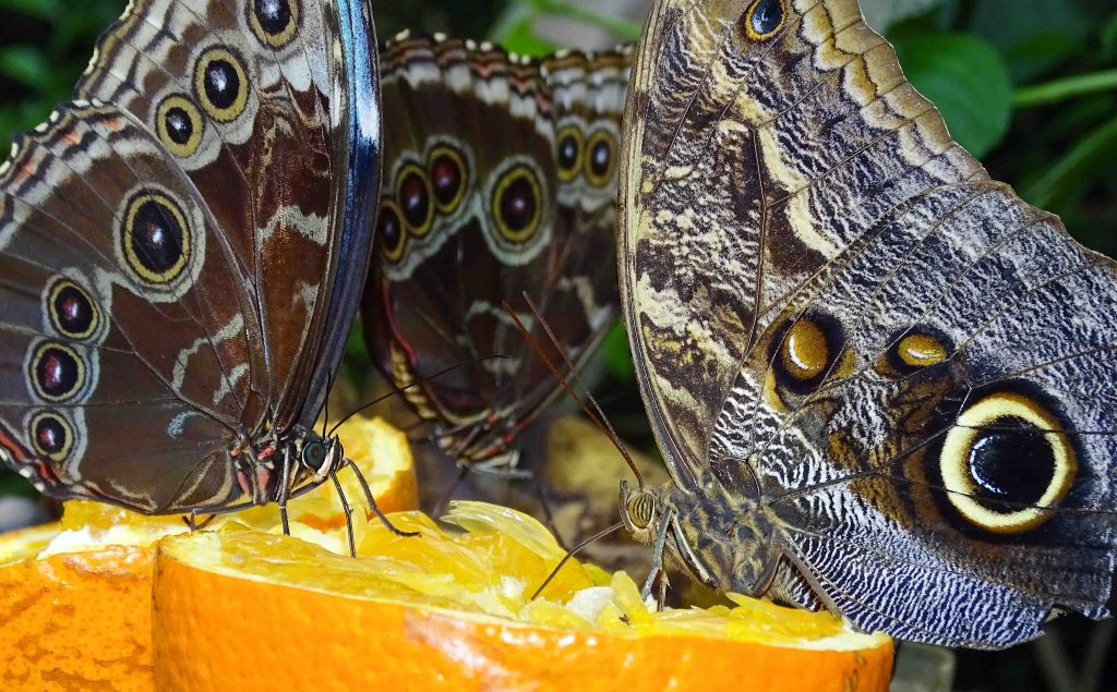 Owl butterfly (Caligo atreus) and morpho feeding on fresh fruit