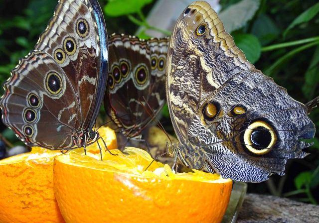 Owl butterfly (Caligo atreus) and morphos