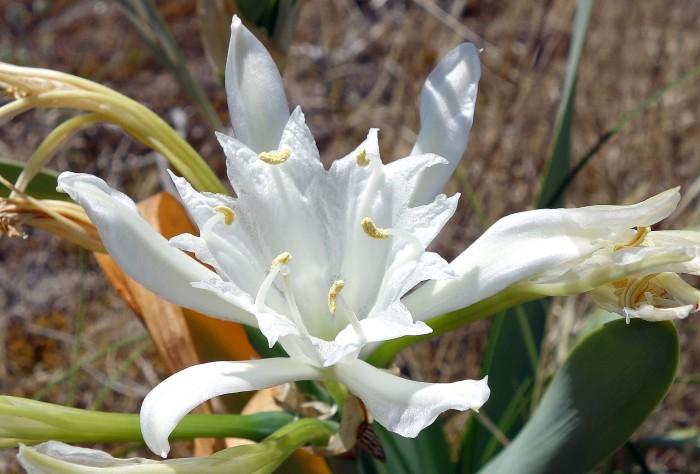 Sea daffodill (Pancratium maritimum) flowers are pollinated by hawk moths