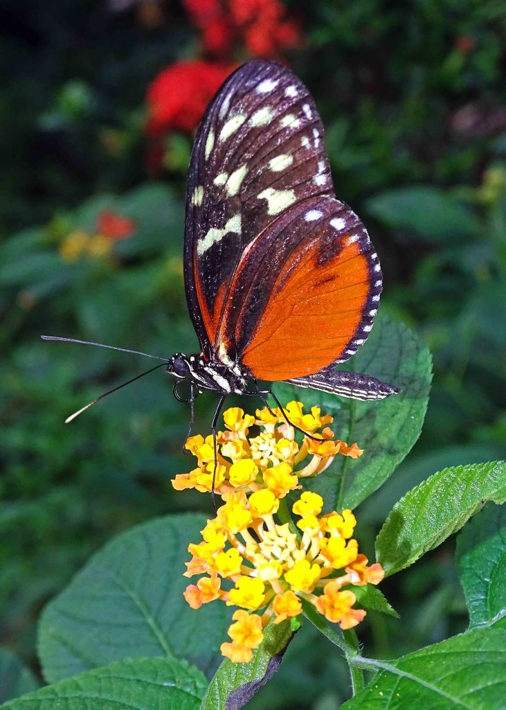 Tiger Longwing butterfly (Heliconius hecale) butterfly