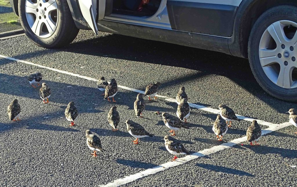Turnstones waiting for scraps, Scarborough