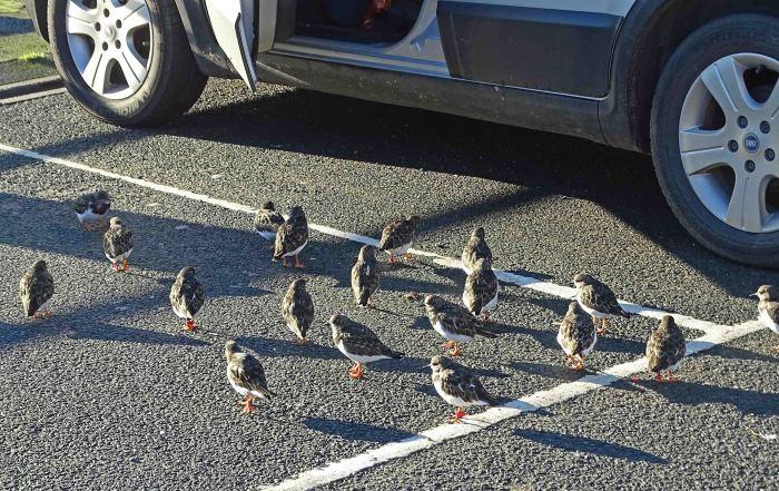 Turnstones waiting for scraps, Scarborough