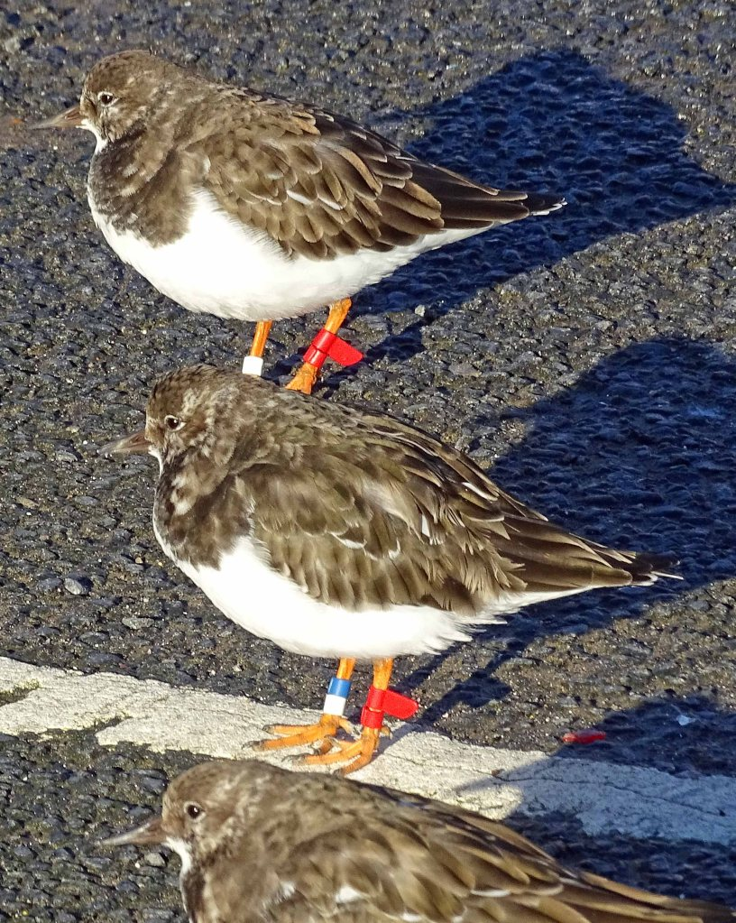 Turnstones with rings, Scarborough, 7th Nov 2015
