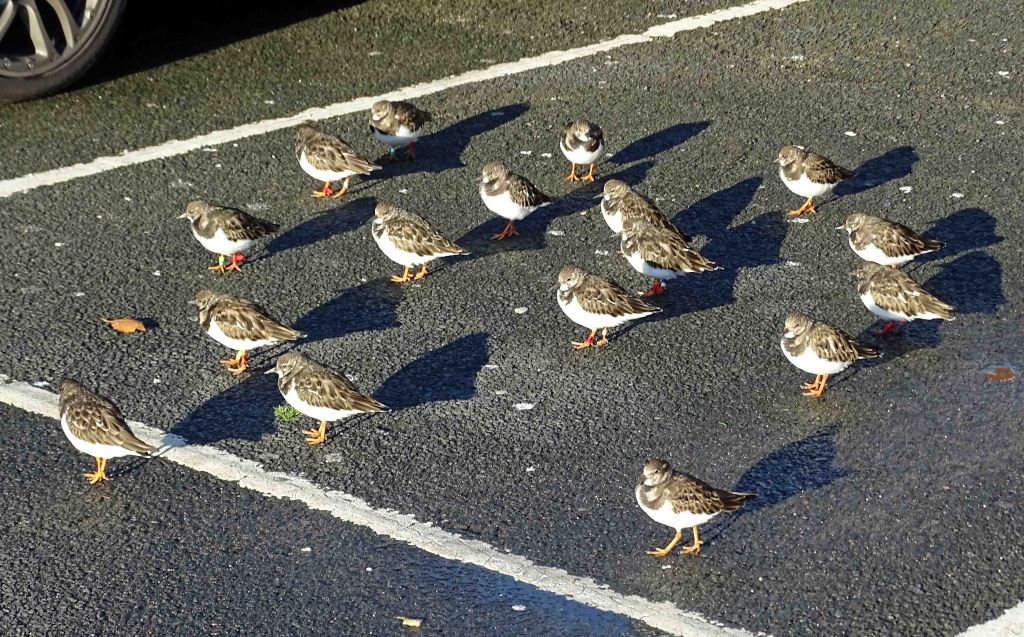 Turnstones with shadows, Scarborough