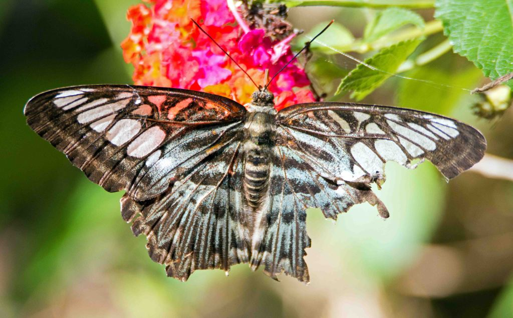 Clipper Parthenos sylvia apicalis male, highly worn and damaged