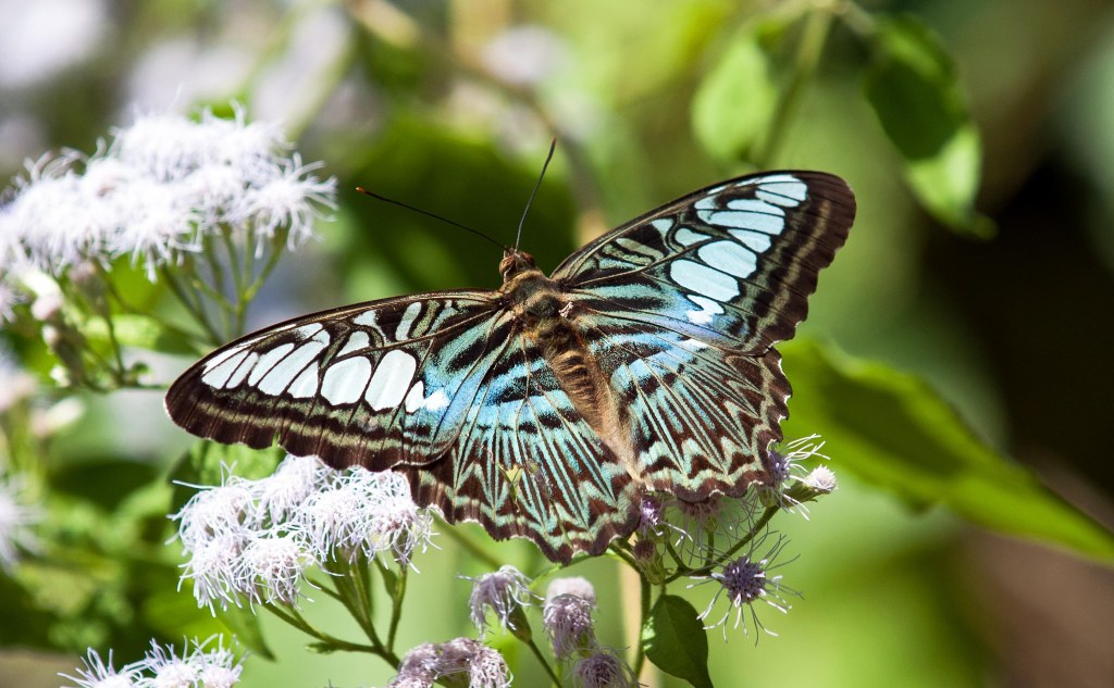 Clipper (Parthenos sylvia apicalis) male, with small beak mark