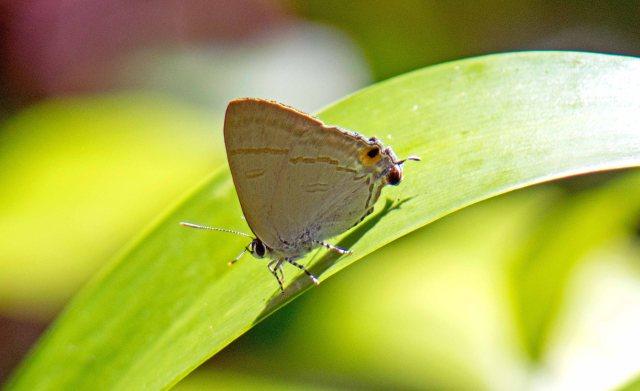 Fluffy Tit (Zeltus amasa amasa) resting on a leaf, wings folded