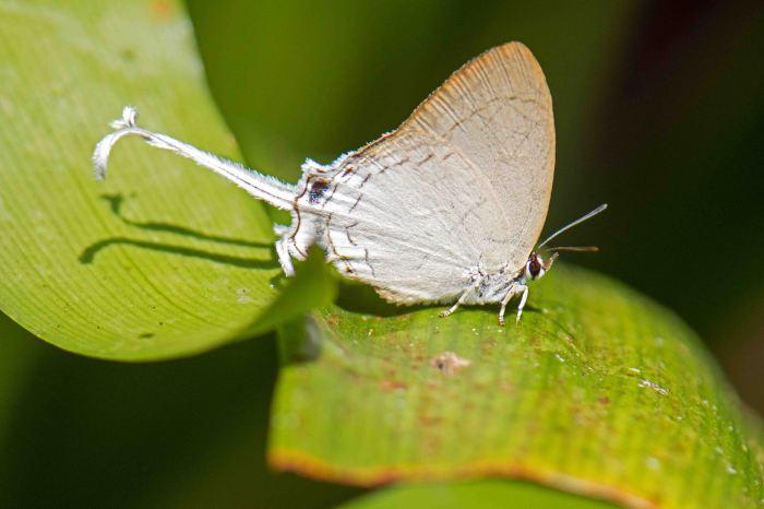 Fluffy Tit (Zeltus amasa amasa) worn and damaged