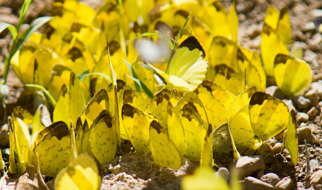 Aggregation of mainly Changeable Grass Yellows (Eurema simulatrix) and some Blues