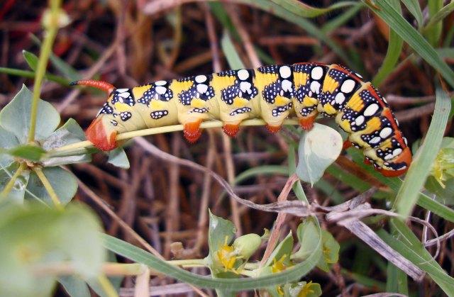 Hyles euphorbiae caterpillar (Macedonia, Greece)