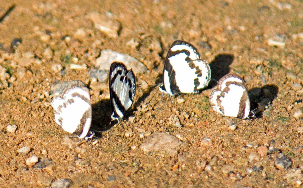 Straight Pierrots (Caleta roxus)