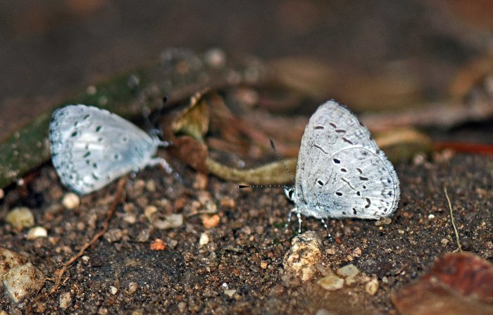 The Plain Hedge Blue, Celastrina lavendularis