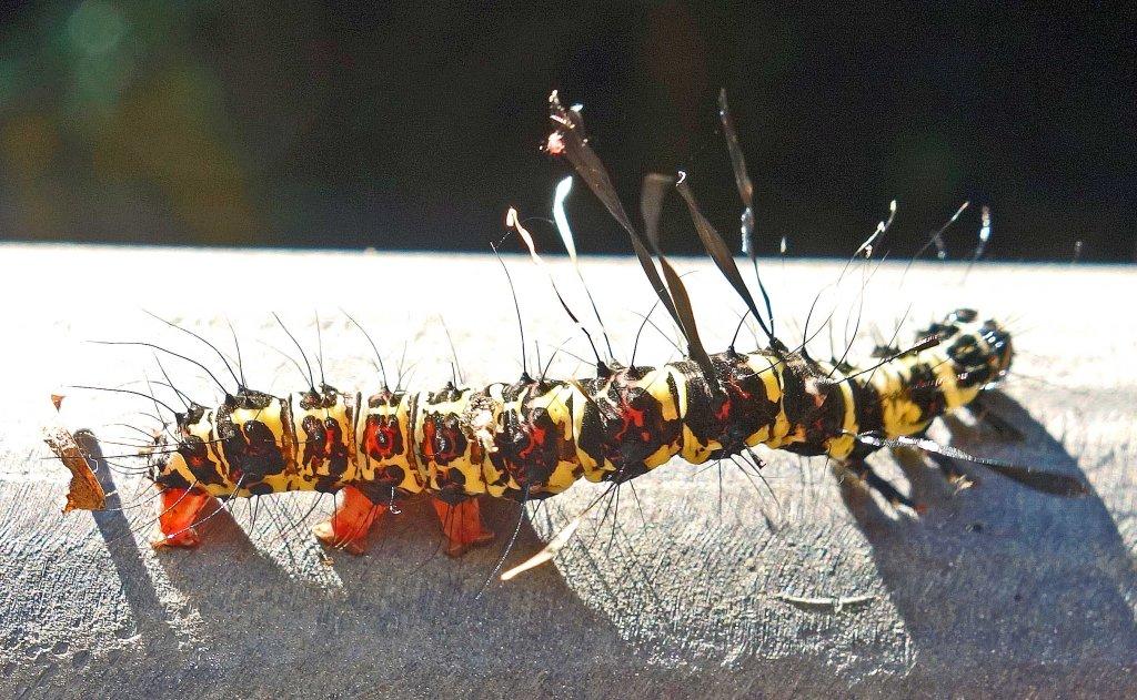 Tinolius sp. larva