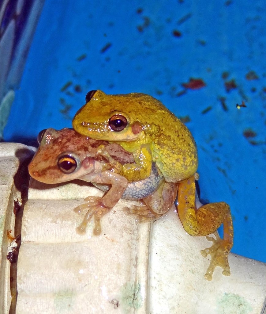 Mating frogs in swimmingpool in Argentina