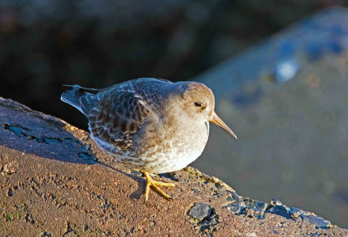 Purple sandpiper (Calidris maritima), Scarborough on 20 Dec 2015