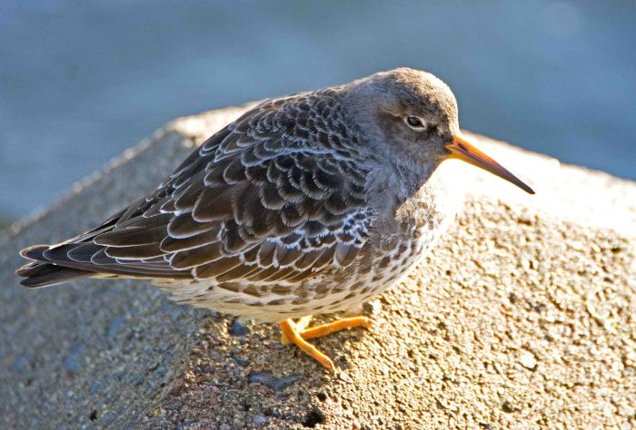 Purple sandpiper (Calidris maritima) 23 Dec 2015