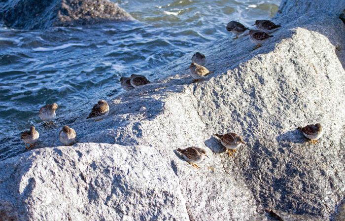 Purple sandpiper (Calidris maritima) flock