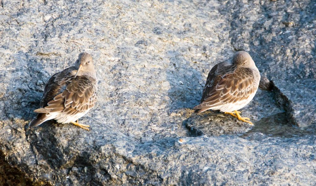 Purple sandpipers (Calidris maritima) 20 Dec 2015