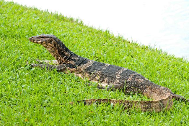 Southeast Asian water monitor (V. salvator macromaculatus), Lumpini Park, Bangkok