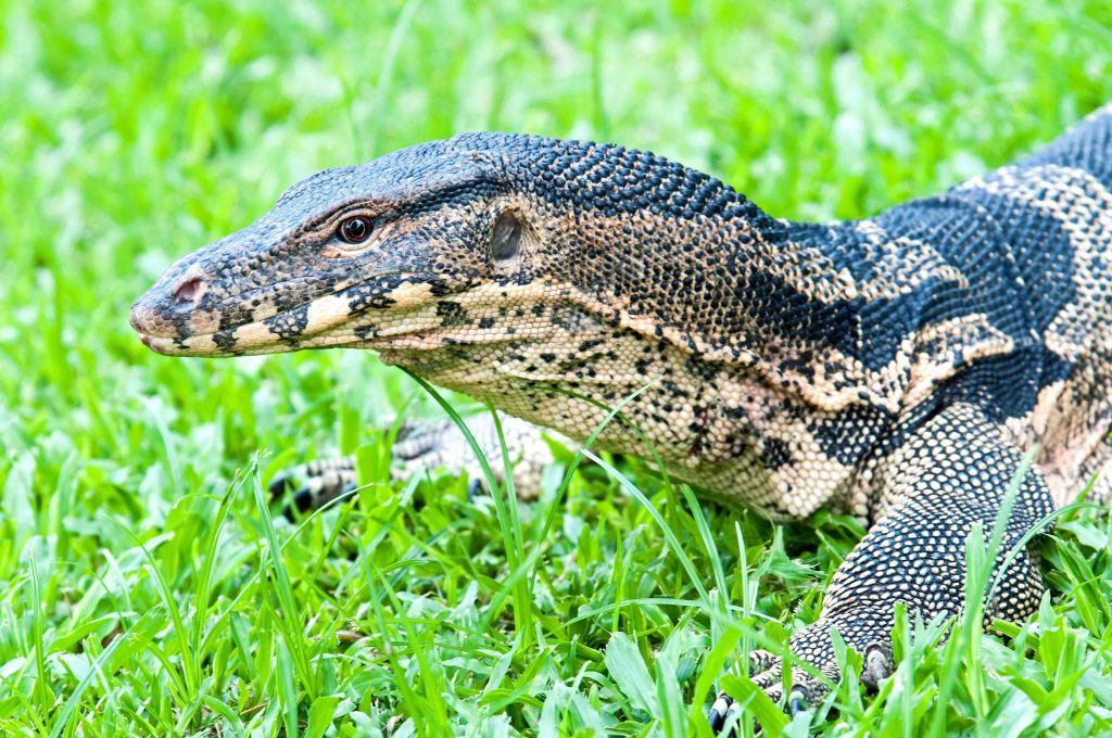 The Southeast Asian water monitor (V. salvator macromaculatus) Lumpini Park, Bangkok