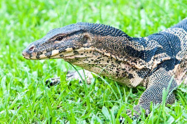 The Southeast Asian water monitor (V. salvator macromaculatus) Lumpini Park, Bangkok