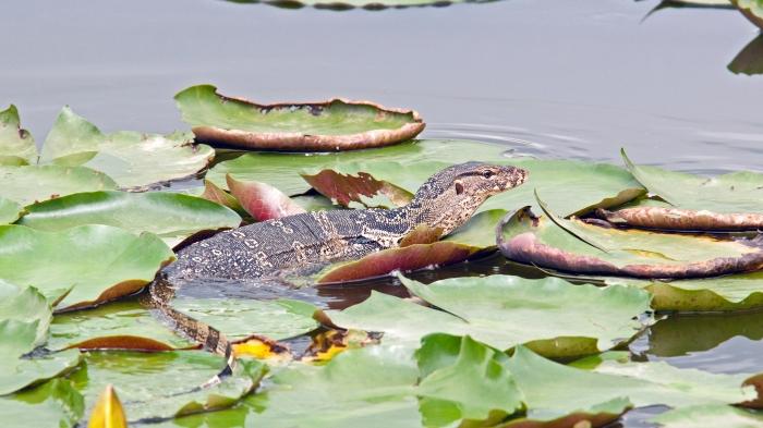 The Southeast Asian water monitor (V. salvator macromaculatus), Lumpini Park, Bangkok