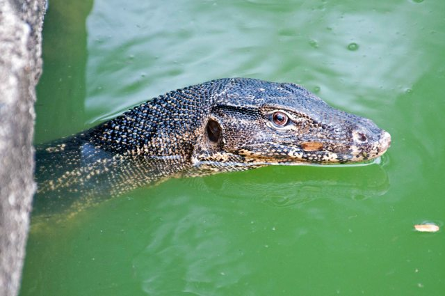 Southeast Asian water monitor (V. salvator macromaculatus), emerging from a water culvert in Lumpini Park, Bangkok