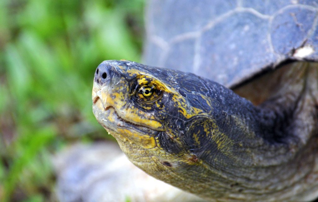 Yellow headed temple turtle (Heosemys annandalii)