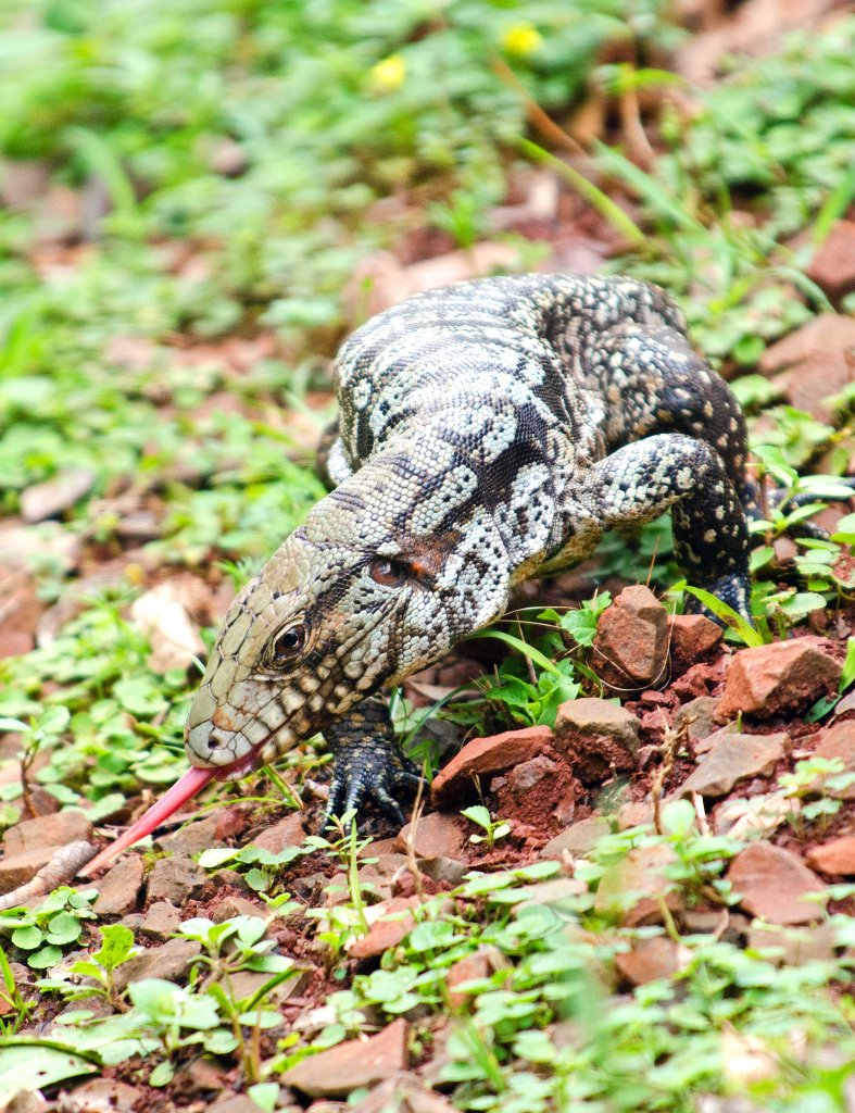 Argentine black and white tegu (Salvator merianae)