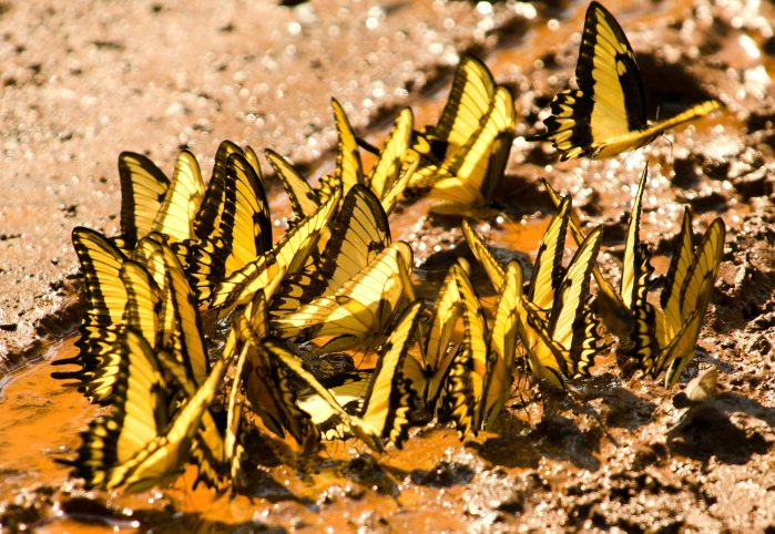 An aggregation of Broad-banded swallow tails (Heraclides astyalus) mud-puddling