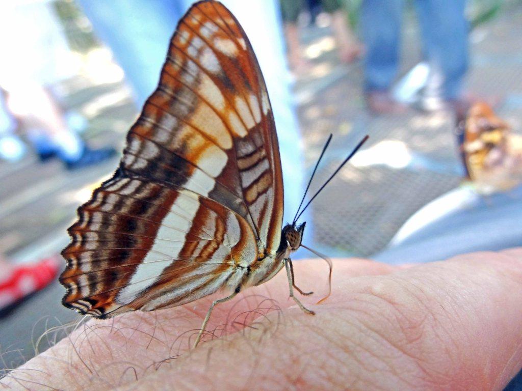 Butterfly puddling on my sweaty finger!
