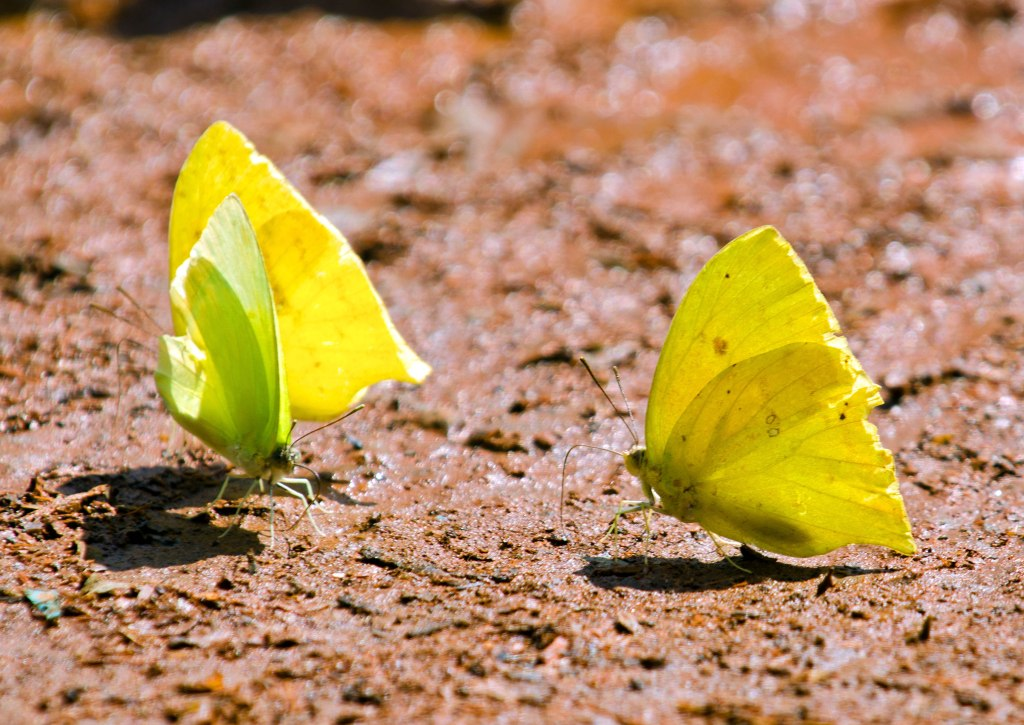 Cloudless Sulphur (Phoebis sennae) and White-angled sulphur (Anteos clorinde) butterflies doing a bit of mud-puddling