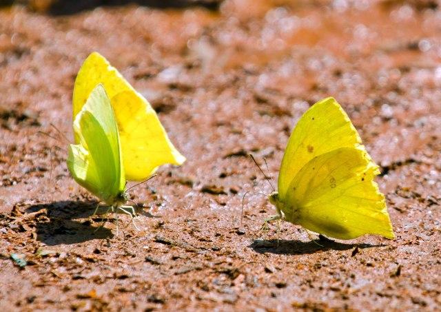 Cloudless Sulphur (Phoebis sennae) and White-angled sulphur (Anteos clorinde) butterflies doing a bit of mud-puddling