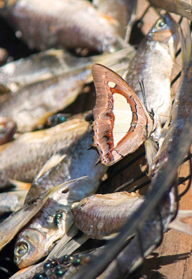 Common nawab (Polyura athamas) absorbing nitrogen by puddling on dead fish
