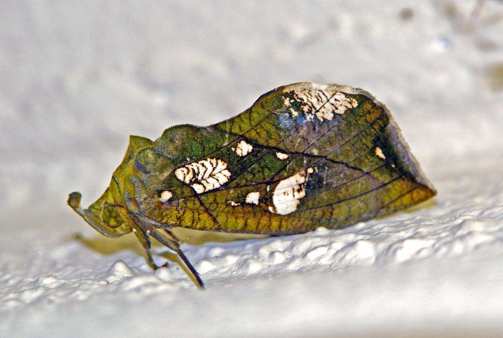Eudocima cocalus (Cramer) female