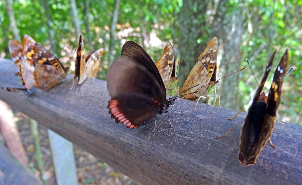 Mixed group of butterflies puddling on sweaty wooden hand-rail