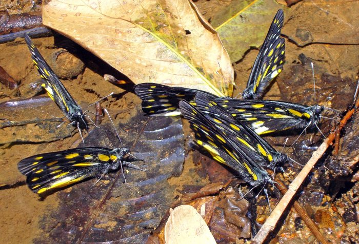 A group of Pale Jezebels (Delias sanaca perspicua) drinking or puddling? Northern Thailand