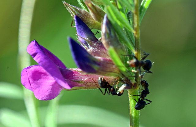 Ants feeding on extrafloral nectaries of Common vetch